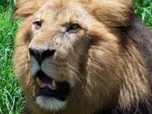 brutus the lion